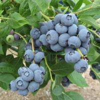 Large picture Blueberry extract