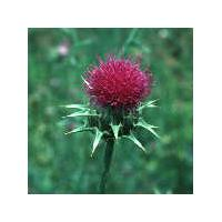 Large picture Milk Thistle Extract