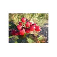 Large picture Rose Hip Extract