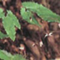 Large picture Elderberry Extract