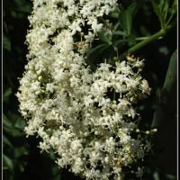 Large picture Elderberry Extract(windy@nutra-max.com)