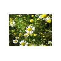 Large picture Chamomile Extract