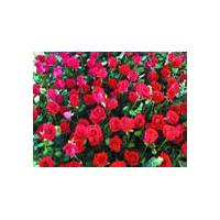 Large picture Rose Extract  P.E.