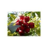 Large picture Hawthorn fruit P.E.( Fructus Crataegi)