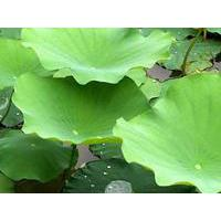 Large picture Lotus Leaf P.E.--yysale4