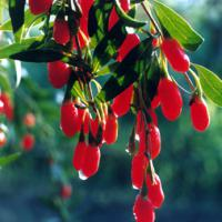 Large picture Goji berry P.E.--yysale4