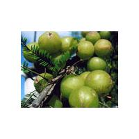 Large picture Amla /Phyllanthus emblica Extract -- yysale4
