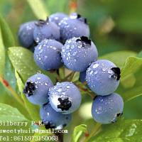 Large picture Bilberry Extract sweetyhuir(at)hotmail(dot)com