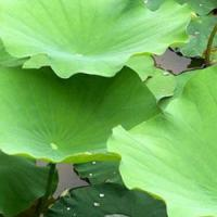 Large picture Lotus leaf P.E sweetyhuir(at)hotmail(dot)com