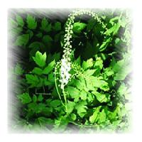 Large picture Black Cohosh P.E  sweetyhuir(at)hotmail(dot)com