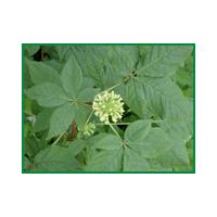Large picture Siberian Ginseng P.E. sweetyhuir(at)gmail(.)com