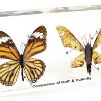 Large picture Insect Specimen - Comparison of Moth & Butterfly