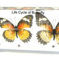 Large picture Biology Specimen - Life Cycle of Butterfly