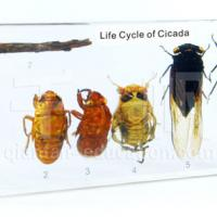 Large picture Biology Specimen - Life Cycle of Cicada