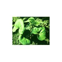 Large picture Asari/Wild Ginger Extract