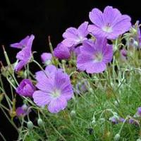 Large picture geranium extract