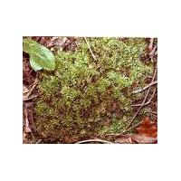 Large picture plagiomnium moss extract