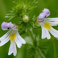 Large picture Eyebright Herb Extract