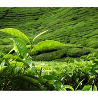 Large picture Green Tea Catechins