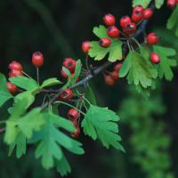 Large picture Hawthorn Leaves Extract