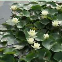 Large picture Nuphar Pumilum Root extract
