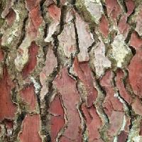 Large picture Pine Bark Extract