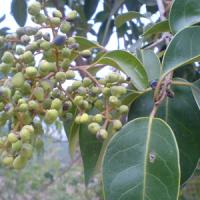 Large picture Ligustrum extract