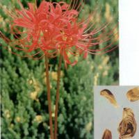 Large picture Lycoris Radiata Herb Extract