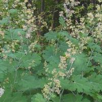 Large picture Macleaya cordata Extract