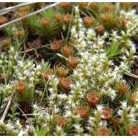 Large picture polytrichum moss extract