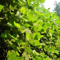 Large picture Kudzu Extract