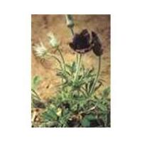 Large picture Pulsatilla Extract: