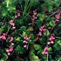 Large picture Wintergreen extract