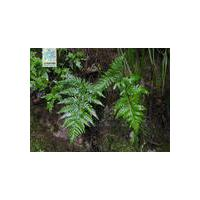 Large picture Dryopteris Extract