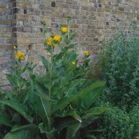 Large picture Elecampane Flower Extract