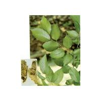 Large picture Eucommia Bark extract