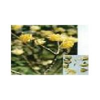 Large picture Buddleia Yellow