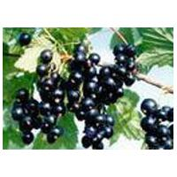 Large picture iqf black currant