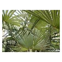 Large picture Saw Palmetto Berry Extract