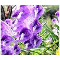 Large picture Scutellaria baicalensis Extract