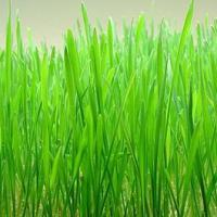 Large picture Wheat Grass Extract