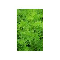 Large picture Sweet Wormwood Extract