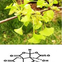 Large picture Gingko Biloba Extract