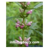 Large picture Motherwort  Extract