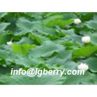 Large picture Lotus Leaf Extract