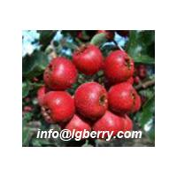 Large picture Hawthorn Berry Extract