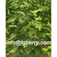 Large picture Wormwood Leaf Extract