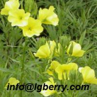 Large picture Evening Primrose Extract