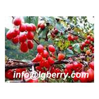 Large picture Fructus Corni extract