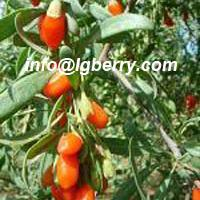Large picture Chinese Wolfberry Extract